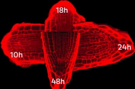 B. Guillotin : Checkpoints in cellular programming during root regeneration