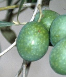 Olives (JP Roger)