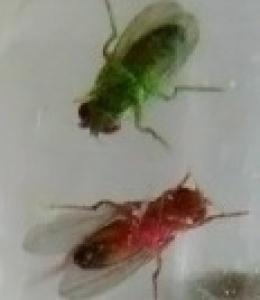 mouches de couleur